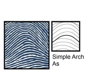 Chủng sinh trắc vân tay Arch ( Simple Arch )