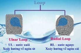 Sinh trắc vân tay chủng Loop cho bạn biết điều gì