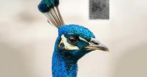 Chủng vân tay Peacock Eye (Chủng mắt công)